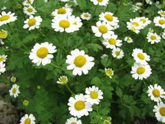 Dyer camomile, Anthemis tinctoria Stock Photos