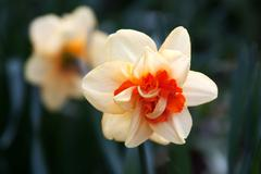 Stock Photo of Daffodil (Narcissus)