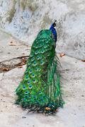 Blue peacock Stock Photos