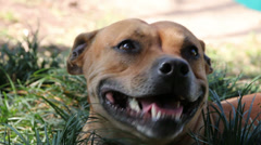 Panting Brown Stafordshire Bull Terrier Stock Footage