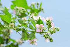 Stock Photo of summer raspberry blossoming bush with purple flowers