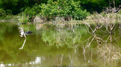 Duck swimming in pond and Shift in focus from near to far distances with Stock Footage