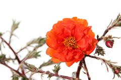 blooming orange portulaca (purslane). isolated on white - stock photo