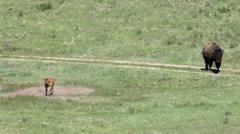 Bison, Buffalo, American Buffalo, Western, 4K, UHD Stock Footage