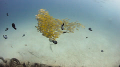 A shoal of yellow snapper in shallow murky water Stock Footage
