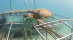 Green Turtle on a new artificial reef Stock Footage