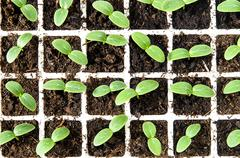 cucumber seedlings in plastic greenhouse in soil - stock photo