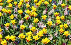 spring yellow-red tulips and pink hyacinths (background). - stock photo