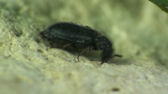 Small beetle insect macro Stock Footage