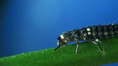 Larva Chrysoperla carnea macro Stock Footage