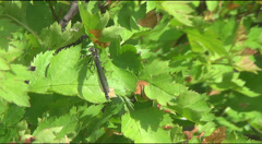 Dragonflies on leaves of hawthorn Stock Footage