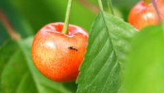 Sweet Cherry and Ant on the garden Stock Footage