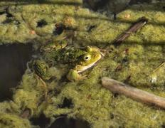 Common water frog or green frog, lat. Pelophylax esculentus, sitting in a dirty  Stock Photos