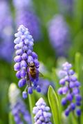 Grape hyacinth with bee in spring Stock Photos