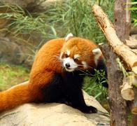 The endangered red panda Stock Photos