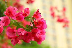 Azalea in pink color Stock Photos
