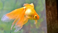 Gold fish (golden carp) Stock Photos