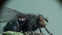 Housefly fly macro insect Stock Footage