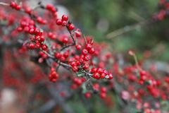 close up view of cranberry branch - stock photo
