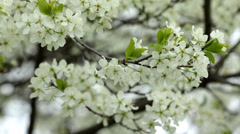 Spring Orchard 03 Stock Footage