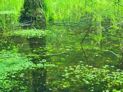 Swamp in forest. Fresh spring  green color. Bended branches above water, Stock Photos