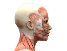 Female Head Muscles Anatomy - Side view - stock photo
