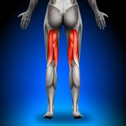 Hamstrings - Female Anatomy Muscles - stock photo