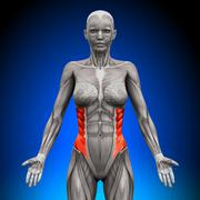 External Oblique - Female Anatomy Muscles - stock photo