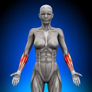 Forearms - Female Anatomy Muscles - stock photo