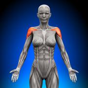 Shoulders / Deltoid - Female Anatomy Muscles Stock Photos