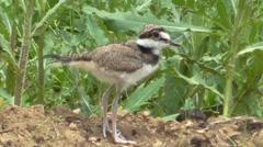 Baby Killdeer (Charadrius vociferus) Stock Footage