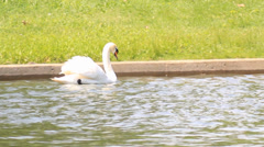 Swimming Swan - pan shot Stock Footage