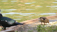 Ducks at Pond Looking for Food Stock Footage