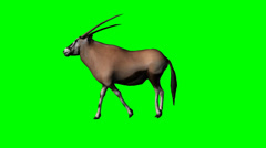 Gemsbock antelope walking - green screen Stock Footage