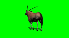 Gemsbock antelope walking with shadow - green screen Stock Footage