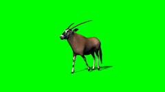 gemsbock antelope walking with shadow - green screen - stock footage