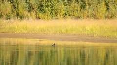 Water Ducks Trees. Stock Footage