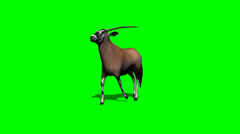 Gemsbock antelope running with shadow - green screen Stock Footage