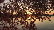 Stock Video Footage of Cherry Blosoms in Washington, DC at Sunrise
