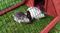 Rabbits Nibbling Grass in Hutch Stock Footage