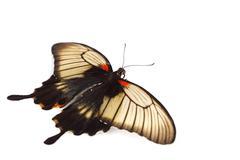 Papilio Lovii - stock photo