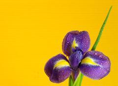 Dewy iris flower Stock Photos