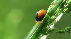 Red small beetle insect macro Stock Footage
