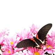 Papilio rumanzovia - stock photo