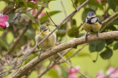 Blue tit fledgling and parent in a bush Stock Photos