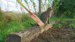 Cat scratches timber in garden Stock Footage