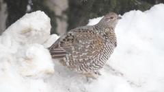 Winter Birds Alaska Snow Stock Footage