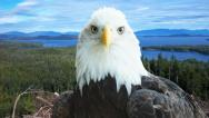 Stock Video Footage of Bald Eagle