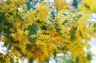 Blossoming  Acacia Stock Photos