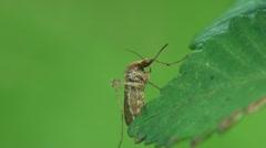Mosquito hyönteinen makro Arkistovideo